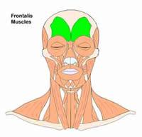 Model_Frontallis_1